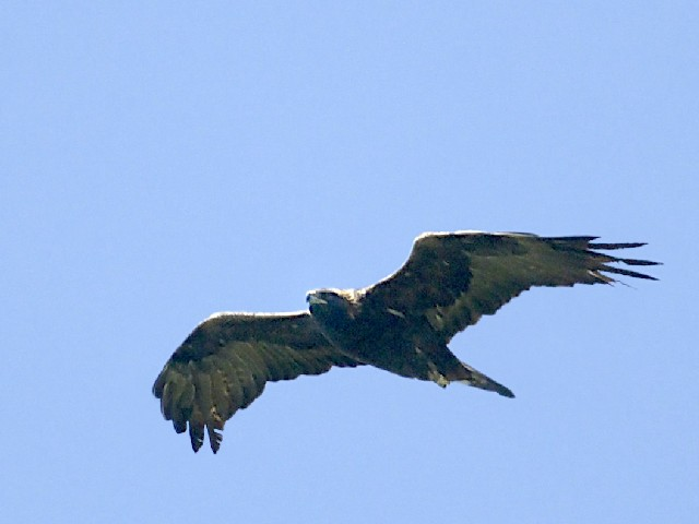 �A イヌワシ 成鳥 滋賀県  2007/08/10 Photo by Mitchao