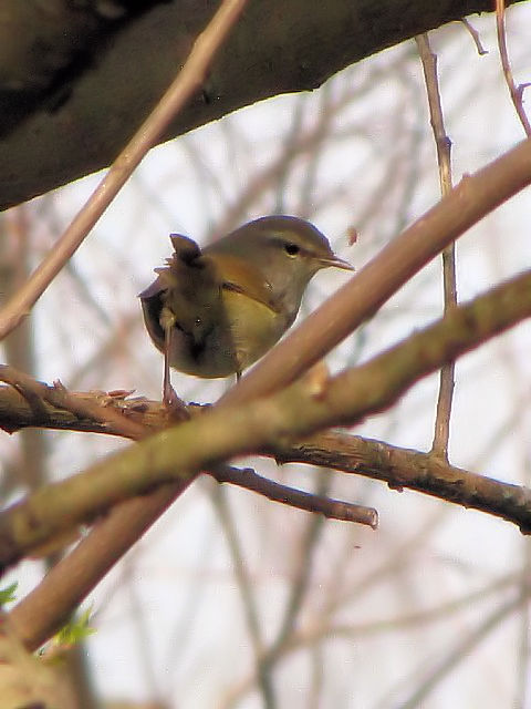 �D ウグイス 成鳥 枚方市 淀川 2010/03/14 Photo by Kohyuh